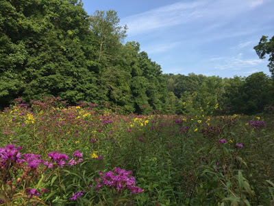 So I get to experience visions like this–tall ironweed and wingstem in fiesta mode.