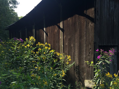 Wingstem and tall ironweed against dark barn siding: so much the better.