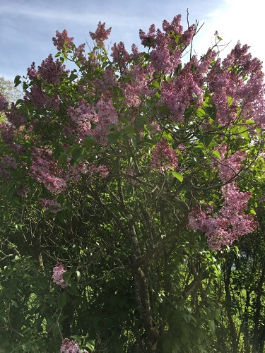The lilacs were in full bloom.
